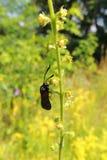 Beetle on grass. Beetle, Beetle on grass red beetle Stock Photography
