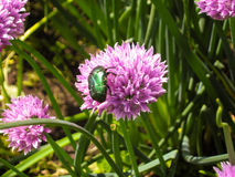 Beetle. On grass on a sunny day Royalty Free Stock Photography