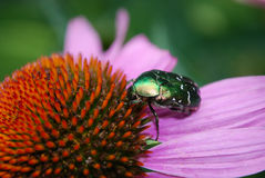 Beetle. A green beetle collects pollen from a flower Royalty Free Stock Image