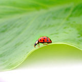 Beetle on a green leaf. Close up of a beetle on a green leaf royalty free stock photography
