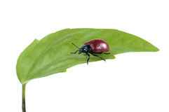 Beetle on green leaf isolated. Stock Photography