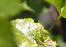 Beetle on a green leaf Stock Image