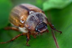 Beetle on a green leaf Stock Photography