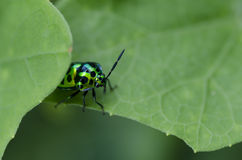 Beetle in green nature macro Royalty Free Stock Photo