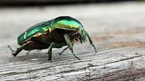A beetle. Green beetle on a tree. 2015 Stock Photos