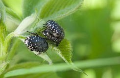 Beetle. Group of black beetle closeup on green leaves Royalty Free Stock Photos