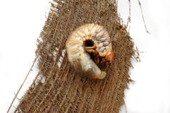 Beetle Grub lying on a tree bark. A macro of a beetle grub on its side isolated in white stock photo