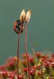 Beetle on Haircap moss seta Royalty Free Stock Image
