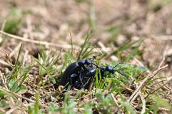 Beetle having sex. Two insects having sex on the grass outdoors Stock Photography