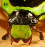 Beetle head. A close of the head of a green fiddler beetle Royalty Free Stock Photography