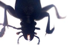 Beetle head with jaws. Ultra close-up on white background stock photography