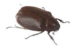 Beetle Hercules Royalty Free Stock Photo
