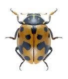 Beetle Hippodamia variegata Royalty Free Stock Photo