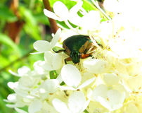 Beetle on Hydrangea Flowers Royalty Free Stock Images