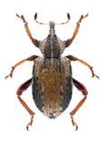 Beetle Hypera plantaginis Royalty Free Stock Image