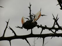 Beetle impaled on thorn in Swaziland Royalty Free Stock Photos