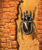 Beetle. Insect on the crack bark Stock Photo