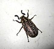 Beetle insect flying beetle turkey Stock Photos
