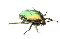 Beetle insect rose chafer isolated. Flower beetle insect chafer Protaetia elegans isolated Stock Photo