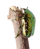 Beetle insect rose chafer isolated Stock Photography