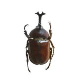 Beetle isolated on white background Royalty Free Stock Photo