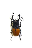 Beetle isolated on white background Stock Images