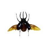 Beetle isolated on white background Stock Images
