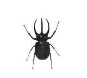 Beetle isolated on white background Royalty Free Stock Photography