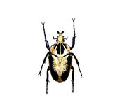 Beetle isolated on white background Stock Photos