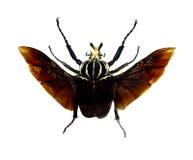 Beetle isolated on white background Royalty Free Stock Photo