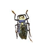 Beetle isolated on white background Royalty Free Stock Image
