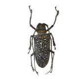 Beetle isolated on white background Stock Photo