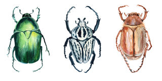 Beetle. Isolated on white background. Watercolor illustration Royalty Free Stock Photo