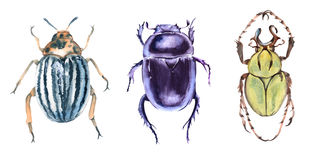 Beetle. Isolated on white background. Watercolor illustration Royalty Free Stock Photos