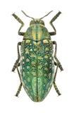 Beetle Julodis variolaris variolaris stock photo