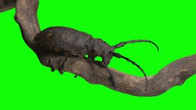 Beetle keying click. The beetle creeps along the tree trunk on green screen stock video