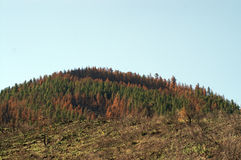 Beetle kill forest. Large patches of dead trees from beetle kill above a burned forest stock images