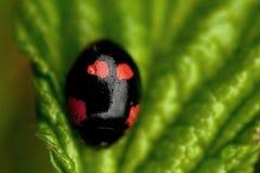 Beetle Ladybird Adalia bipunctata Stock Photo
