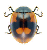 Beetle Ladybird Adalia bipunctata Stock Photos