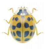Beetle Ladybird Harmonia axyridis Royalty Free Stock Photo