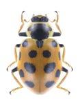 Beetle Ladybird Hippodamia tredecimpunctata. On a white background Royalty Free Stock Images