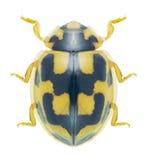 Beetle Ladybird Propylea quatuordecimpunctata Royalty Free Stock Photos