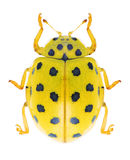 Beetle Ladybird Psyllobora vigintiduopunctata Stock Images
