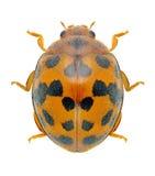 Beetle Ladybird Subcoccinella vigintiquatuorpuncta Stock Image