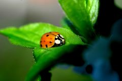 This beetle is a ladybug, a predatory insect that feeds on aphids. stock photo