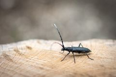 Beetle Large oak barbel - Cerambyx cerdo. Beetle woodcutter. Beetle large oak barbel - Cerambyx Cerdo sits on a fresh cut of a tree. Beetle woodcutter royalty free stock image