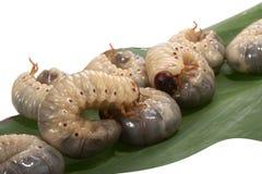 Beetle larva  rhinoceros Stock Image