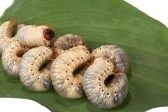 Beetle larva  rhinoceros Royalty Free Stock Photo