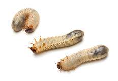 Beetle Larvae Stock Photography