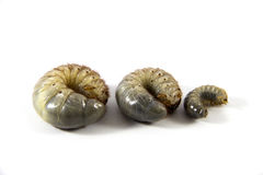 Beetle larvae Stock Photo